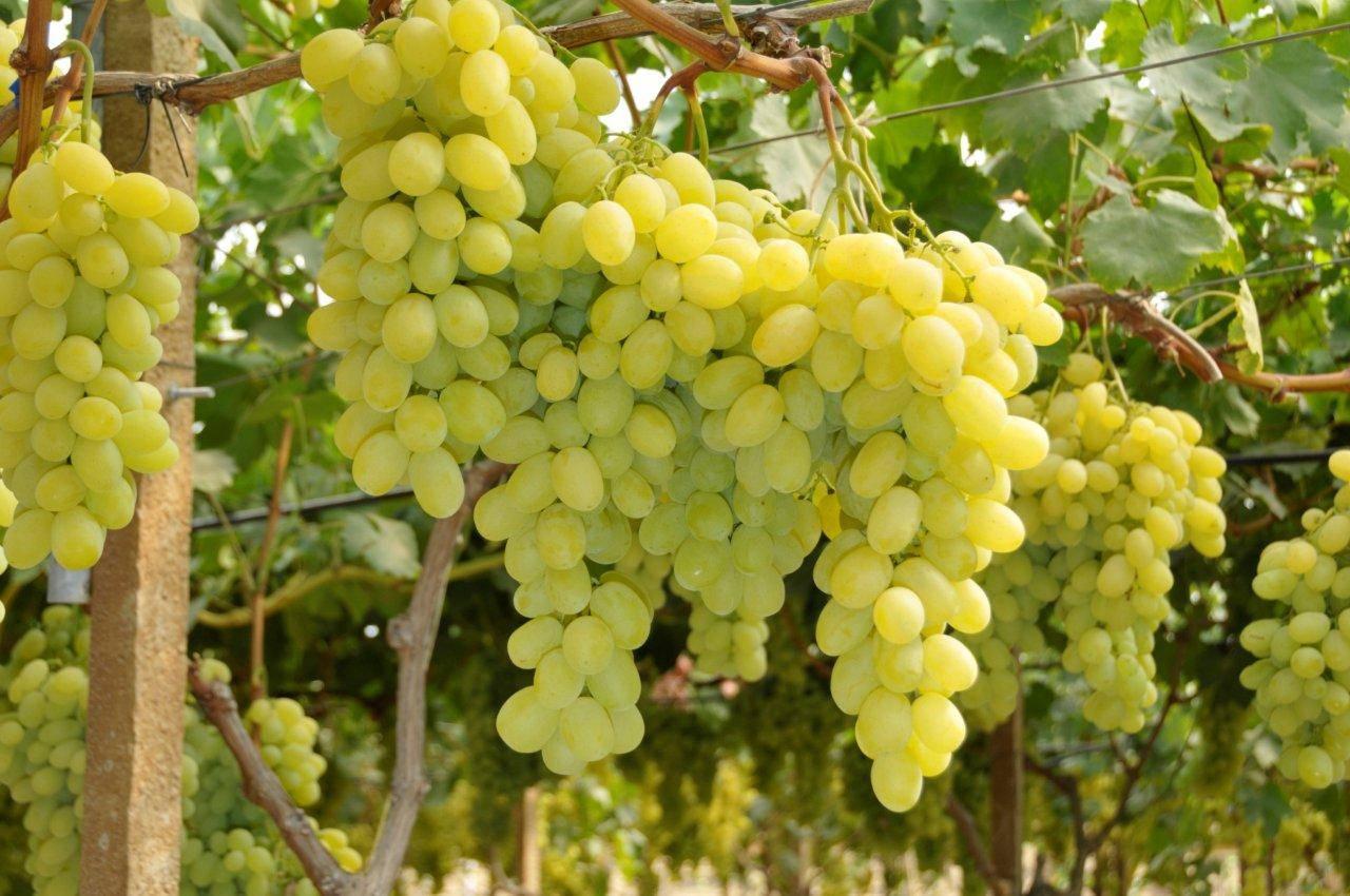 Israele gi i dazi per l importazione dell uva da tavola - Uva da tavola coltivazione ...