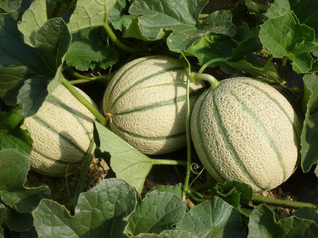 Il rialzo delle temperature spinge i consumi di prodotti estivi come meloni e anguria