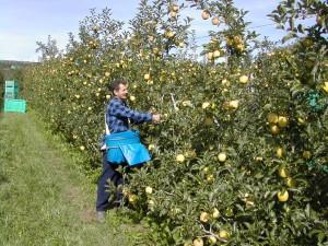 La-raccolta-delle-mele