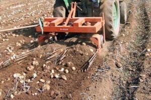 patate spagnole