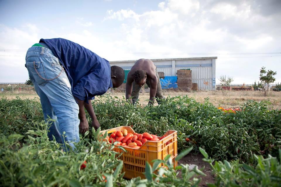 Raccolta del pomodoro, pratica a rischio caporalato