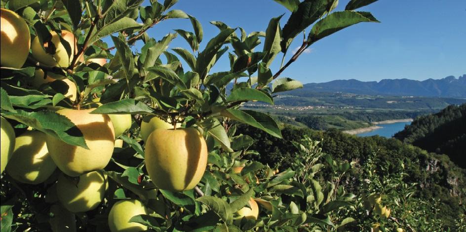 Harvista viene utilizzata in diversi Paesi del mondo su diverse varietà di mele, tra cui Golden, Fuji, Gala e Honeycrisp
