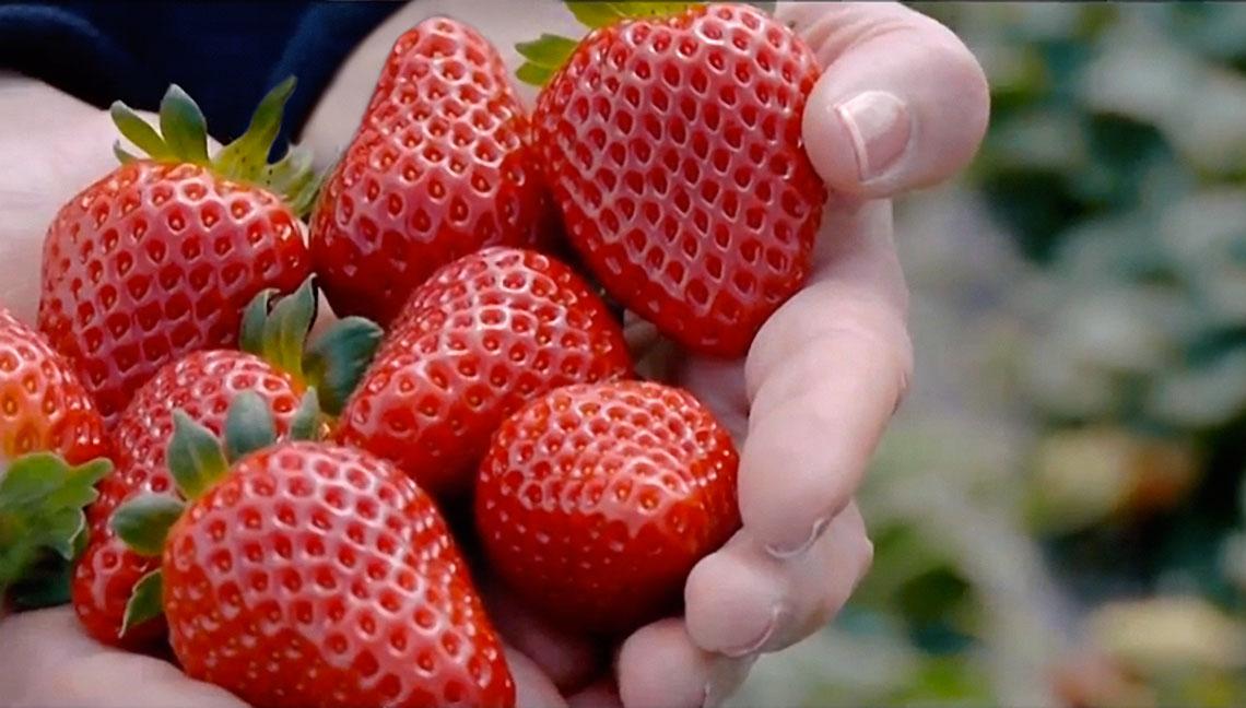 Prezzi medio-bassi anche anche per la fragola Candonga, a causa di un calo della domanda determinato dalle basse temperature