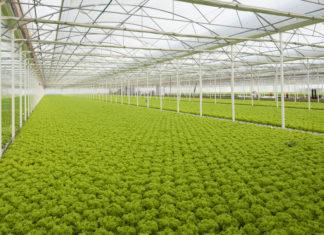 L'allagamento dei terreni e l'asfissia delle insalate riguarda sia il pieno campo sia le serre