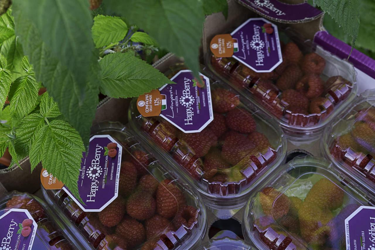 Come Coltivare I Lamponi happy berry, il marchio dei lamponi invernali prodotti in italia