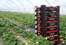 Il calo dei prezzi delle fragole ha interessato anche la varietà Candonga della Basilicata