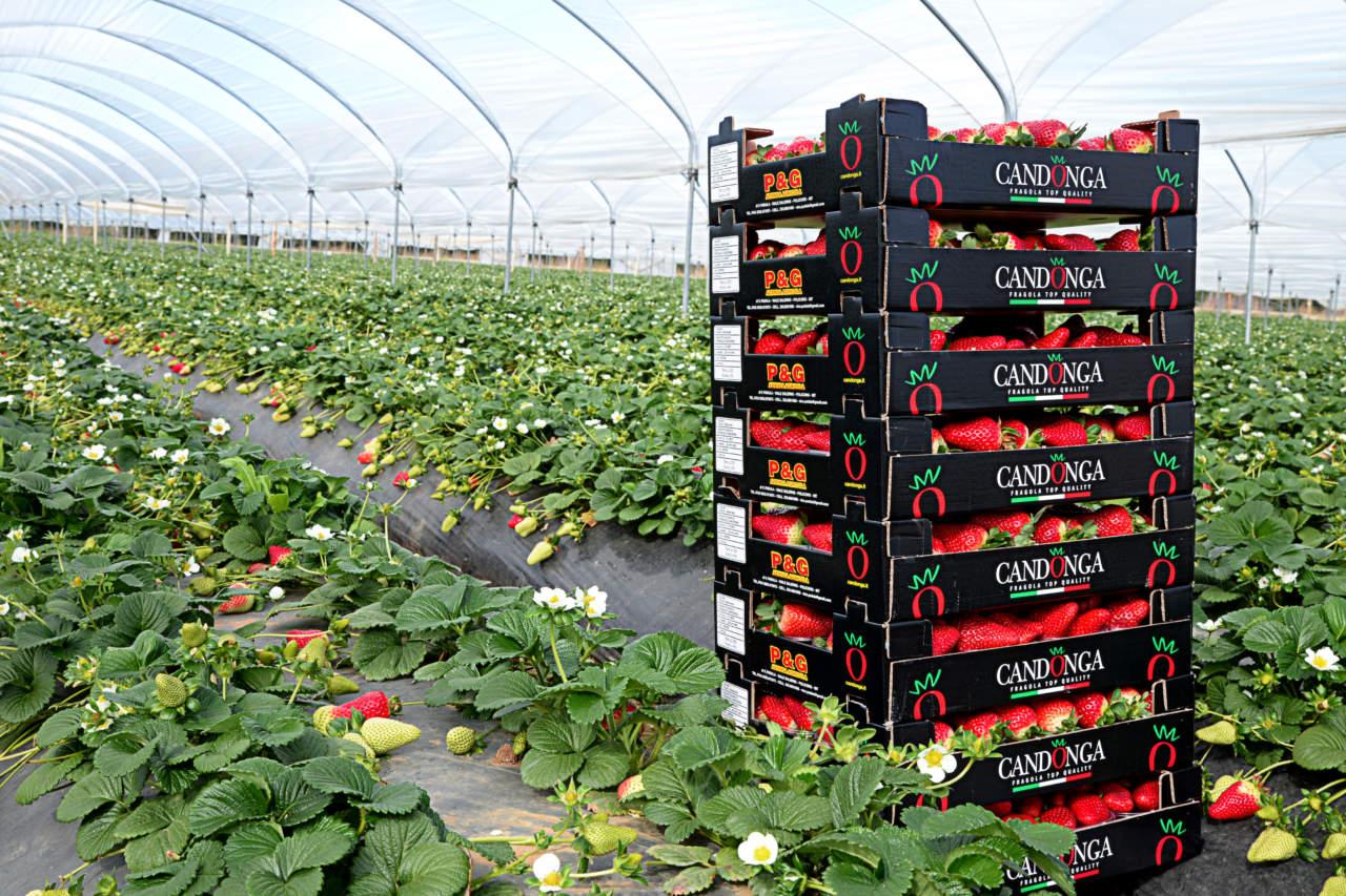 57da0b63615a Il calo dei prezzi delle fragole ha interessato anche la varietà Candonga  della Basilicata