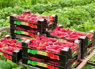FruttaWeb fragole Solarelli