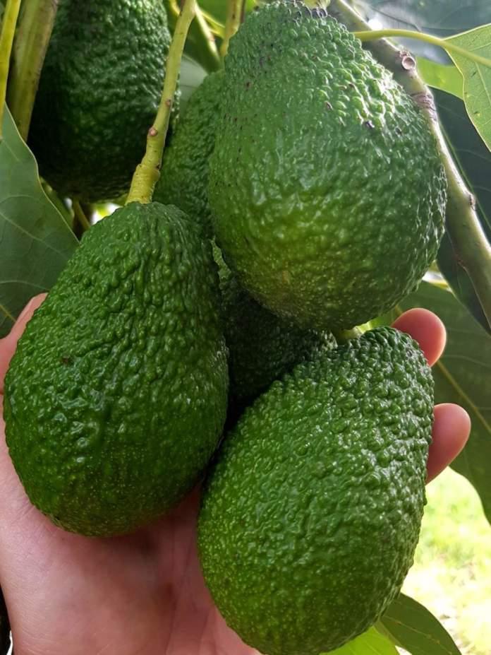 L'avocado è tra i superfood in maggiore crescita: Pam Panorama li propone nelle varietà Hass e Verde