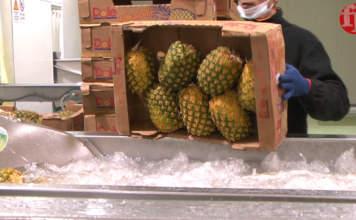 Nel 2018 il 50% delle esportazioni mondiali di ananas sono partite dalla Costa Rica: gli Usa primi importatori, seguiti dall'Olanda