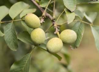 Nel canale retail le noci rappresentano in valore oltre il 30% dei consumi di frutta a guscio, ma la produzione italiana copre solo un quinto del fabbisogno interno