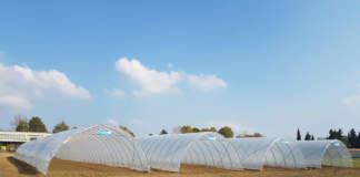 Foglioline di rucola, lattughino, valerianella, bietole da foglia e spinacino sono le colture in strutture coperte più colpite dal caldo