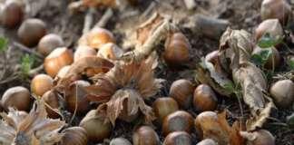 Le nocciole dalla Turchia e dell'Azerbaijan sono nella black list di Coldiretti degli alimenti più pericolosi, in base alle notifiche del Raff 2018, il sistema di rapido allerta dell'Ue sugli alimenti