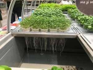 Nell'aeroponica le radici sono sospese, fuori suolo e il residuo di pesticidi è zero