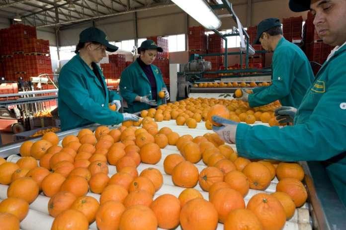 Per effetto del freddo è aumentata la presenza delle arance colorate di ottima qualità