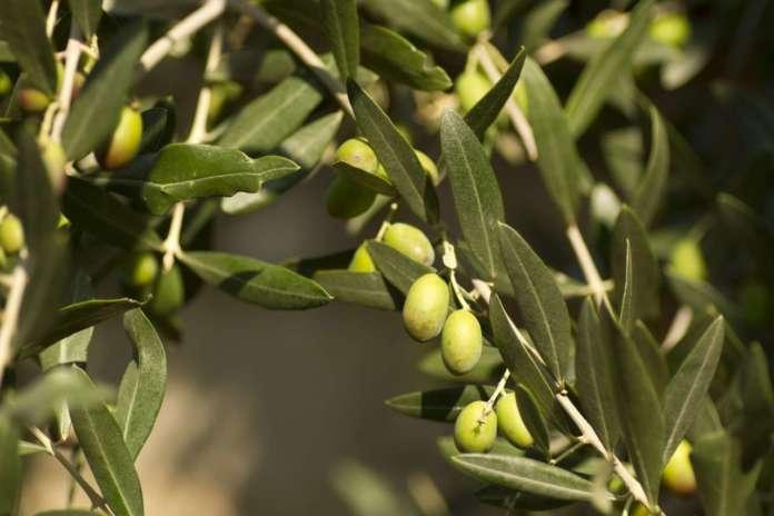 Freddo, gelate e sbalzi climatici influenzano in negativo la produzione di olio d'oliva nazionale