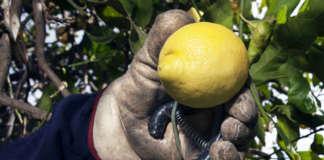 Limone di Siracusa Igp, il marchio di tutela è stato ottenuto nel 2000
