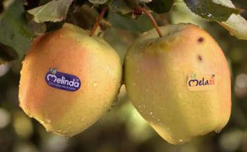 """MelaSì, la mela """"gemella diversa"""" prodotto dal Consorzio Melinda, che aiuta a combattere lo spreco alimentare"""