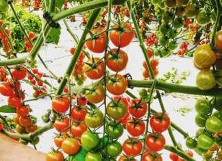 Il pomodoro ciliegino dell'azienda agricola Mustile, a Vittoria, in provincia di Ragusa, coltivato in serra