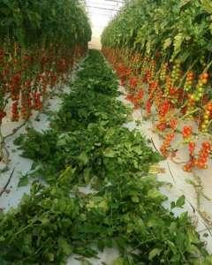 L'azienda Mustile produce circa semila kg a settimana di pomodoro ciliegino
