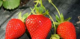 Civ, il Consorzio italiano vivaisti, con sede a Comacchio, produce 150 milioni di piante di fragola