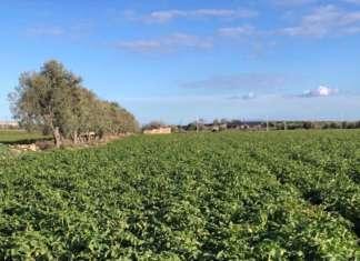 Coltivazione in pieno campo di patate novelle di Sicilia presso Siracusa