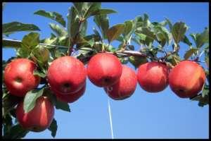 Anche l'arte diventa un mezzo a sostegno del sistema produttivo delle mele trentine