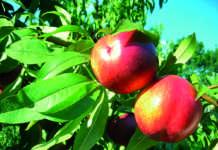 La varietà Febe: le nettarine di Geoplant Vivai hanno registrato alte performance di vendite