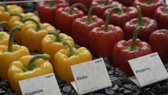 I peperoni Syngenta: uno dei maggiori core business dell'azienda sementiera, tra le maggiori al mondo