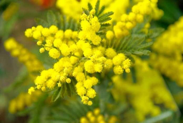 La vendita delle mimose traina il settore fiori. Cia-Agricoltori Italiani invita a recarsi nei tanti vivai italiani