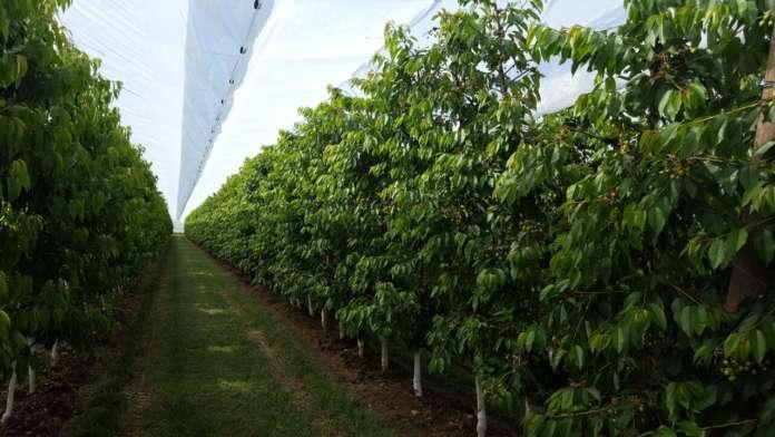 La rete di protezione Protecta di Arrigoni è ideale per proteggere il ciliegio