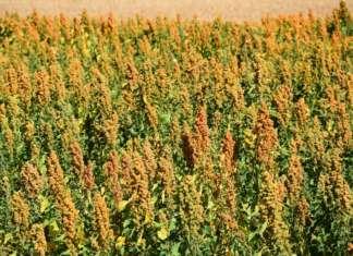 Coltivazioni di quinoa: questo pseudocereale è considerato un superalimento ed è gluten free