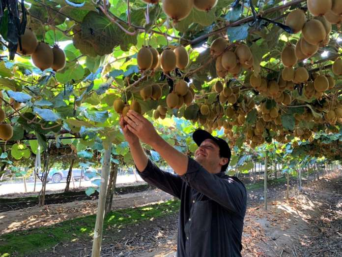 La raccolta in Cile del kiwi verde Hayward destinato al marchio Sweeki