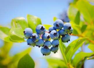 I mirtilli sono al centro della ricerca in virtù del contenuto di antociani, i pigmenti del frutto appartenenti alla grande famiglia dei polifenoli