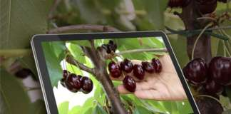 Tutte le novità tecniche sul ciliegio saranno al centro dell'International Cherry Symposium (Ics), che si svolgerà a Vignola