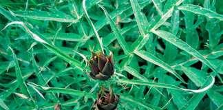 Il carciofo Moretto di Brisighella è una varietà autoctona; si presenta come un cespuglio che può raggiungere un'altezza di 150 centimetri (credits: Fabio Liverani)