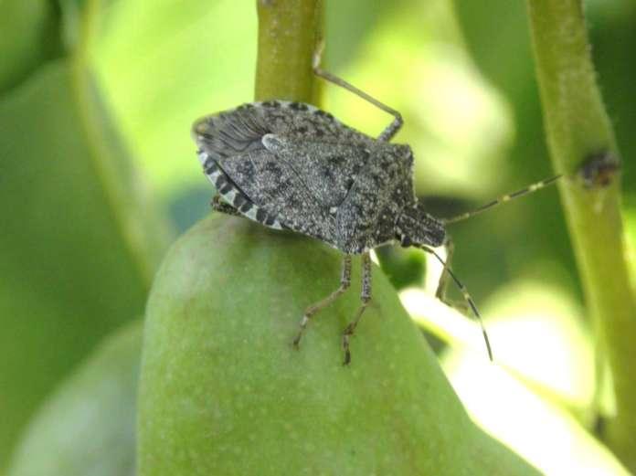 Dal 2012 la cimice asiatica (Halyomorpha halys) causa gravi danni ai frutteti dell'Emilia-Romagna. Uno studio triennale finanziato dalla Regione suggerisce le migliori soluzioni a contrasto