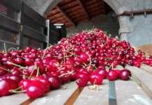 Biozon è risultato efficace soprattutto nella protezione delle ciliegie da agenti patogeni. Il prodotto ne aumenta anche la shelf-life