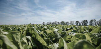 Delle 7 aziende agricole monitorate da Findus per lo studio, tre si trovano nell'Agro Pontino, dove vengono coltivati gli spinaci