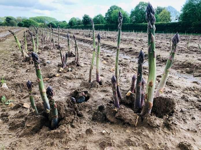 Guelph Eclipse, uno degli ibridi di asparagi verdi sviluppati da Global Plant Genetics, caratterizzato da alta resa