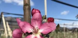 Il colore fucsia del fiore della Red Moon lascia presagire il pigmento rosso della polpa della mela