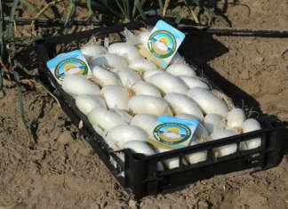La Cipolla Bianca di Margherita Igp viene prodotta non nel terreno, come di consueto accade, ma nelle sabbie del Mar Adriatico, a sud del Gargano, in Puglia