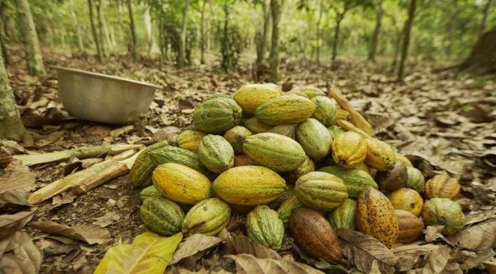 Mondelēz investe nella filiera del cacao, allargando il programma sostenibile Cocoa Life ad altri brand