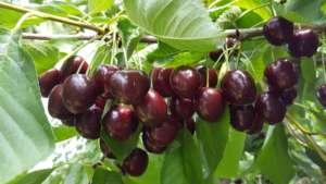 Kordia e Regina sono le due principali varietà di ciliegie prodotte dal consorzio Melinda