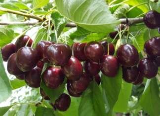 È iniziata la raccolta delle ciliegie in Trentino: le loro quotazioni al primo luglio sono in aumento