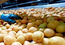Quotazioni in aumento per le albicocche. Prezzi ancora molto bassi per le Cott, talora messe in commercio con un grado di maturazione insufficiente