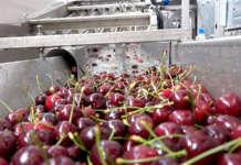 Sono in aumento i prezzi delle ciliegie, già elevati: sul mercato è presenta la produzione trentina ma anche molto prodotto spagnolo