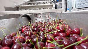 La lavorazione delle ciliegie Val Venosta con tecnologia all'avanguardia