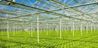 Rijk Zwaan produce con l'idroponica diverse varietà di lattuga a crescita rapida e resistenti al tip burn come Salanova, Bobal, Stefano o Xem