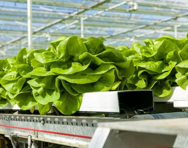 Le verdure a foglia sono ideali per la coltivazione in idroponica. Rijk Zwaan dispone di circa 50 varietà adatte